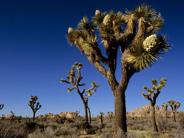 Ambijent tipičan za pustinju Joshua Tree. Uočljivi su i istoimeni kaktusi.